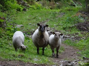 These hardy sheep are let loose from surrounding farms to pasture in the fields and hills around the farm. This particular group are the only ones who did not flee at my approach.