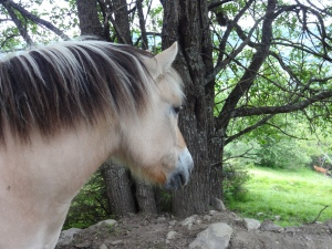 A close up, he is quite friendly and rather curious...until he realizes you don't have an apple or a roll and then looks away as if betrayed. Still, he is beautiful and a friendly horse.