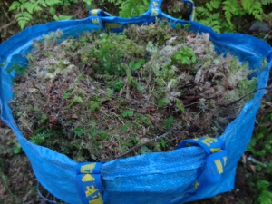 Ikea bags, the preferred method of moss gathering. There several different kinds of moss that cover the cliffs and hills here.