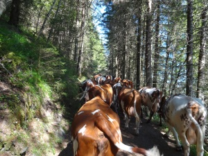 Cow-herding, never thought I would be doing this in Norway. We had to wrangle only one heifer from the herd, dear Audhumla, but to do so we had to bring the entire herd to the gate of the farm.