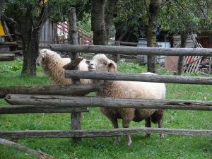 Sheep next door, they looove banana peels.
