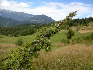 Juniper Berries, wild in the mountains and just daring me to pick them and mix up a strong one, a good ole Gin & Tonic.